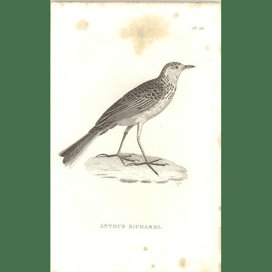 1825 Anthus Richardi - Richard's Pipit Bird Print  George Shaw
