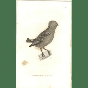 1825 Calyptomena Viridis - Green Broadbill Bird Print  George Shaw