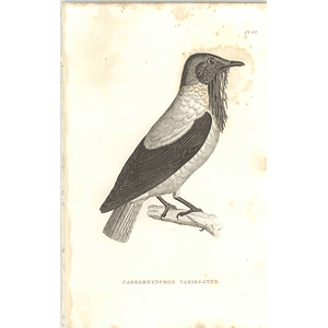 1825 Casmarhynchos Variegatus Bird Print  George Shaw