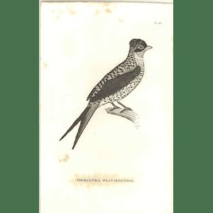 1825 Phibalura Flavirostris - Swallow-tailed Cotinga Bird Print  George Shaw