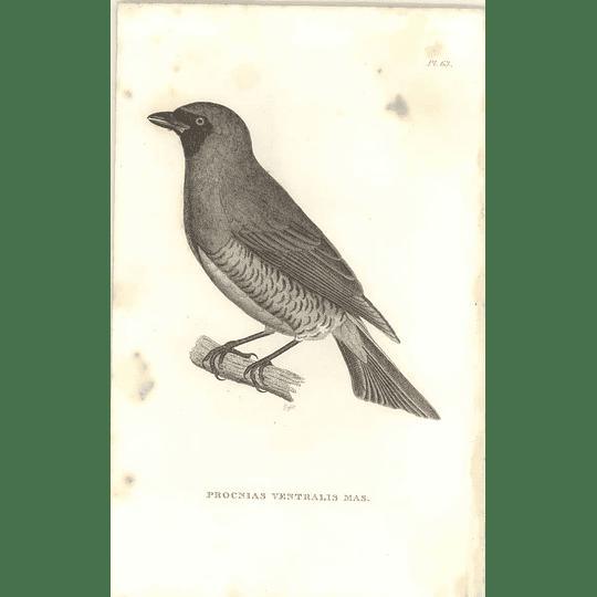 1825 Procnias Ventralis Mas. -  Blue Berry-Eater Bird Print  George Shaw