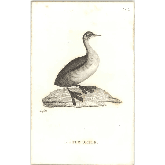 1825  Little Grebe Shaw, Griffiths Engraving