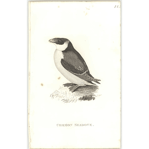 1825  Common Seadove Shaw, Griffiths Engraving