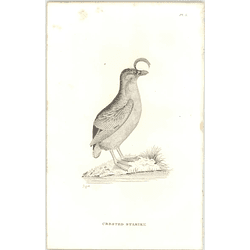 1825  Crested Stariki Shaw, Griffiths Engraving