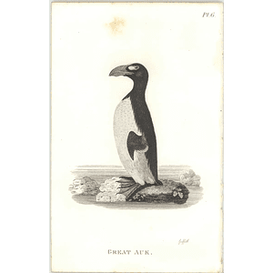 1825  Great Auk Shaw, Griffiths Engraving