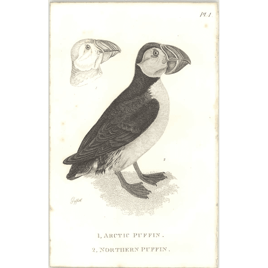1825  Arctic And Northern Puffin Shaw, Griffiths Engraving