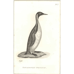1825  Patagonian Penguin Shaw, Griffiths Engraving