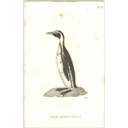 1825  Cape Sphenisque Shaw, Griffiths Engraving