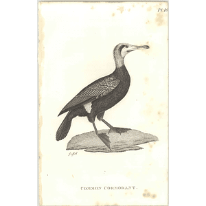 1825  Common Cormorant Shaw, Griffiths Engraving