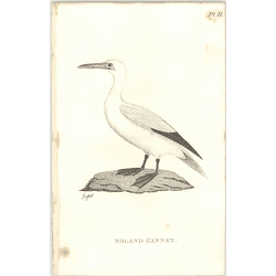 1825  Soland Gannet Shaw, Griffiths Engraving