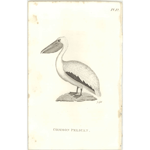 1825  Common Pelican Shaw, Griffiths Engraving
