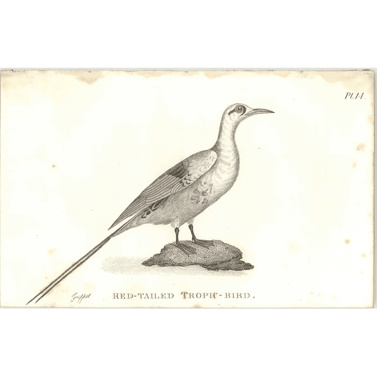 1825  Red Tailed Tropic Bird Shaw, Griffiths Engraving