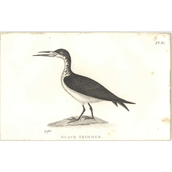 1825  Black Skimmer Shaw, Griffiths Engraving