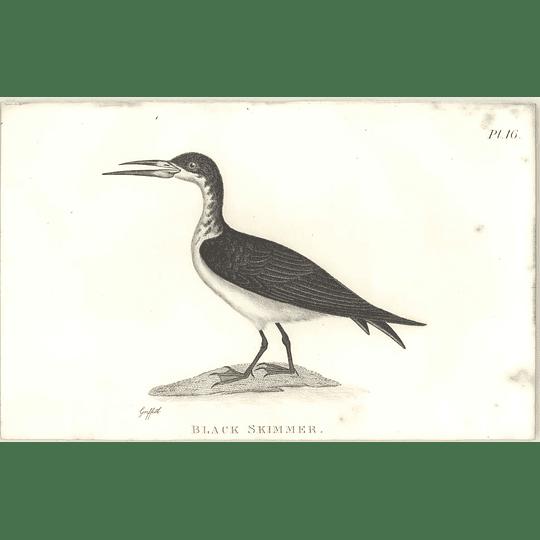 1825  Black Skimmer Shaw, Griffiths Engraving