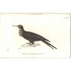 1825  Common Frigate Bird Shaw, Griffiths Engraving