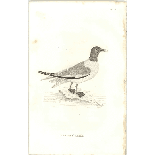 1825  Sabines' Xeme Shaw, Griffiths Engraving