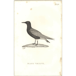 1825  Black Viralve Shaw, Griffiths Engraving