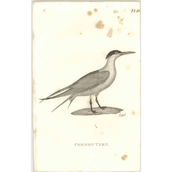 1825  Common Tern Shaw, Griffiths Engraving