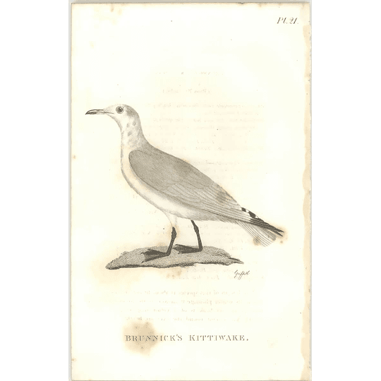 1825  Brunwick's Kittiwake Shaw, Griffiths Engraving
