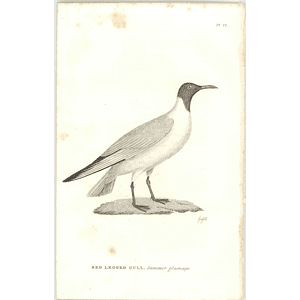 1825  Red Legged Gull Summer Plumage Shaw, Griffiths Engraving