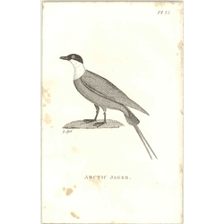 1825  Arctic Jager Shaw, Griffiths Engraving