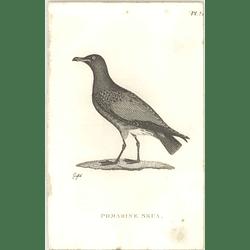 1825  Pomarine Skua Shaw, Griffiths Engraving