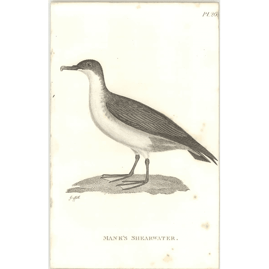 1825  Manx Shearwater Shaw, Griffiths Engraving