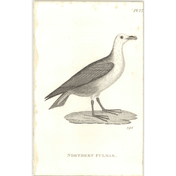 1825  Northern Fulmar Shaw, Griffiths Engraving