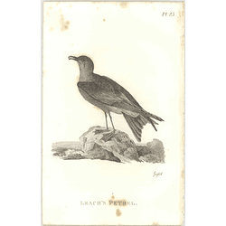 1825  Leach's Petrel Shaw, Griffiths Engraving