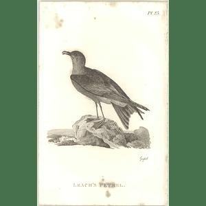 1825  Leach's Petrel Shaw, Griffiths Engraving