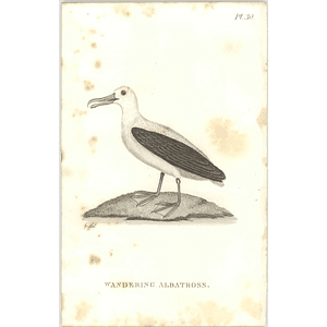 1825  Wandering Albatross Shaw, Griffiths Engraving