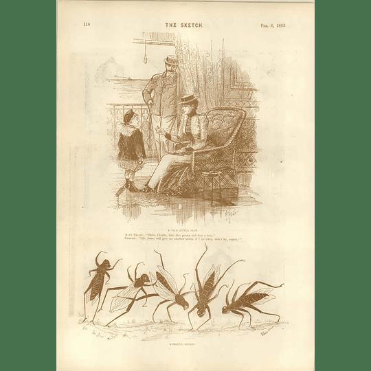 1893 Clever Artist In Bazaar Rene Bull Athletic Locust Wain Plot Mel Tonio