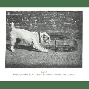 1902 Mr Charles H Labdon, Stanlake Park, Twyford, Ratcatcher Photo