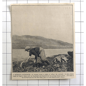 1936 Woman Using Sickle To Gather Seaweed For Potato Patch, Red Hills