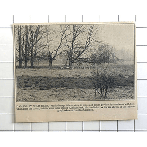 1936 Damage Done By Deer, Ashridge Park Hertfordshire, Ivinghoe Common