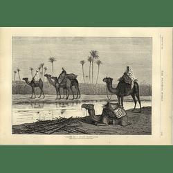 1874 Camels At A Sugar Plantation Artwork Walter Severn