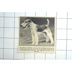1936 Fox Terrier Club Winner Triangle Jupiter Exhibited By Mr Burrows