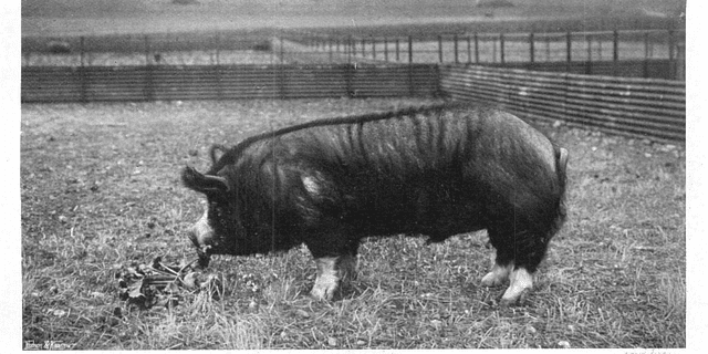 The Duchess of Devonshire's Pigs 1904
