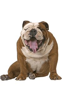 ROYAL CANIN Bulldog Adult 12 Kgs