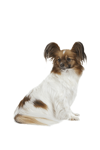 ROYAL CANIN X-Small Adult 8+ - 1,5 Kgs