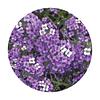 Semillas de flores Alyssum violeta