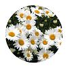 Semillas de flores Paquerette blanco