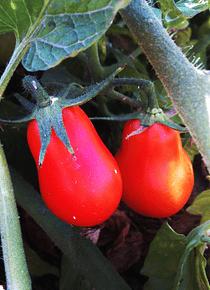 Tomate Chucha 1 kg