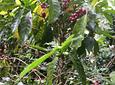 Café biodynamique et permaculturel (visite du café)