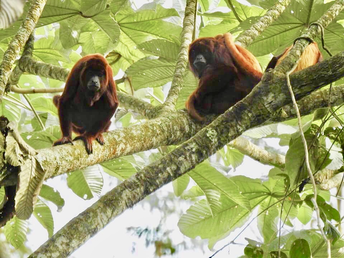 Buscando El Mono Aullador En Barbas - Bremen