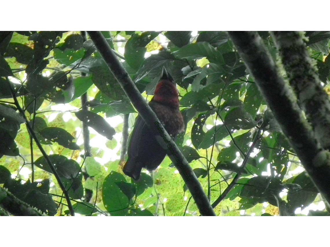 Bird Watching in Subtropical Very Humid Forest Filandia