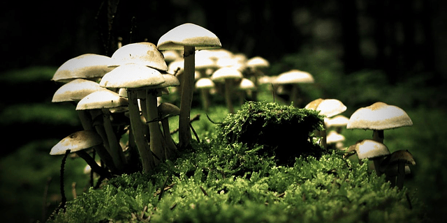 Tutorial Cultivo Fungi <br> San Isidro