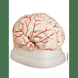 Cerebro Con Arterias 8 Partes