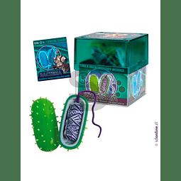 Celula Bacteria