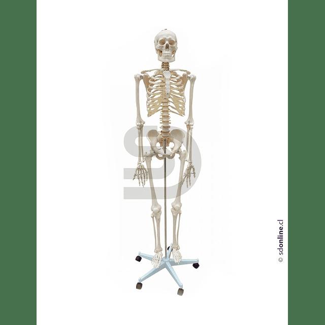 Esqueleto Con Base 170Cm